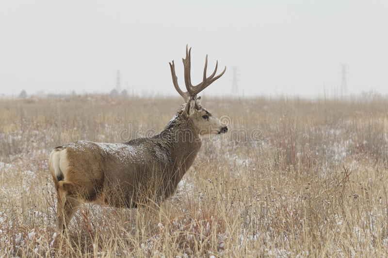Download Mule Deer Buck In Snowy Field Stock Photo - Image: 37088232