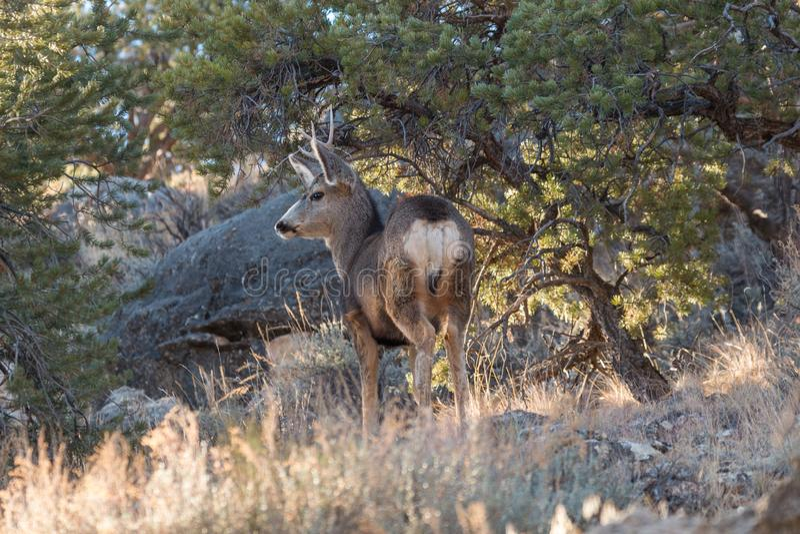 Mule Deer Buck Stander foto de stock royalty free