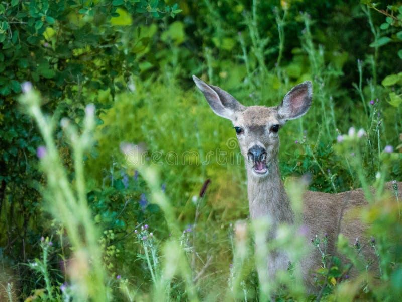 Mule Deer caught in moment eating plants. Mule Deer caught in moment eating royalty free stock images