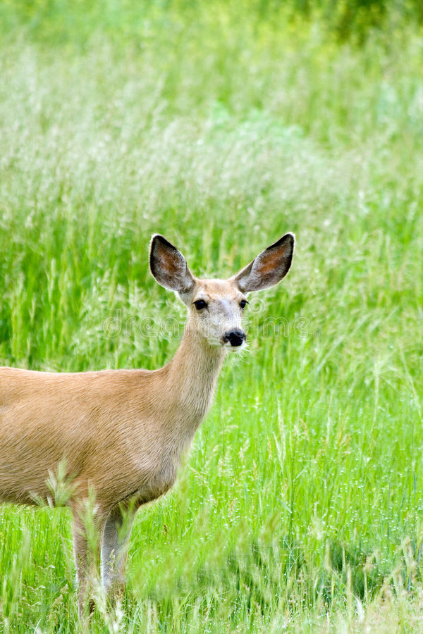 Mule deer doe stock photo