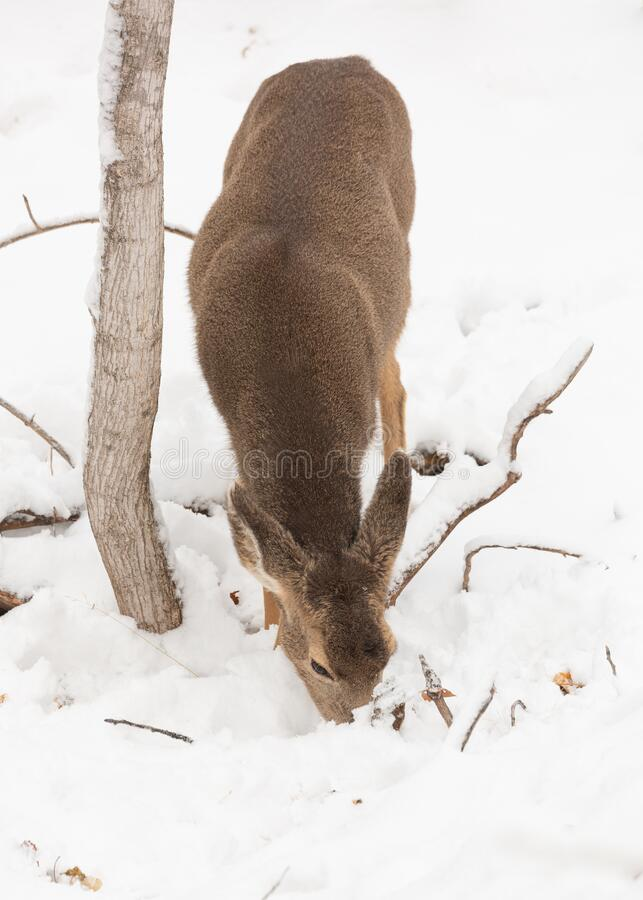 Mule deer doe feeding on a snowy day. A mule deer doe looks for food under a few inches of snow on a cold winter day stock image