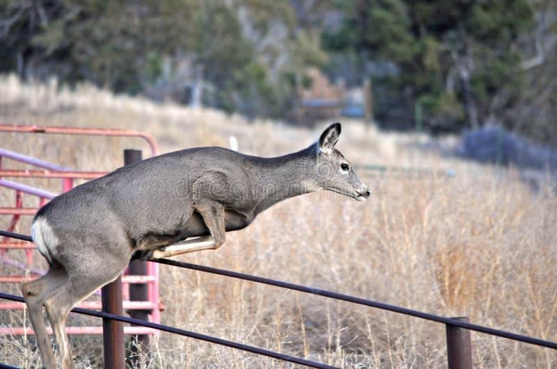 Mule Deer Doe Jumping over Rancher`s Fence in Late Fall royalty free stock photos