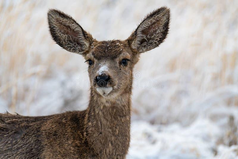A Mule Deer Doe in the Snow. A Mule Deer Doe in Snowy Weather royalty free stock photography