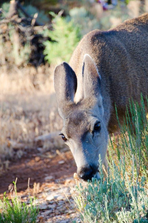 Mule deer eating grass in a meadow
