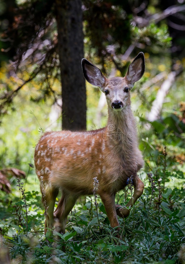 Mule Deer Fawn royalty free stock photography