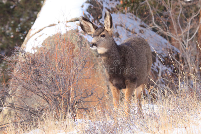 Mule deer fawn. During wintertime royalty free stock photo