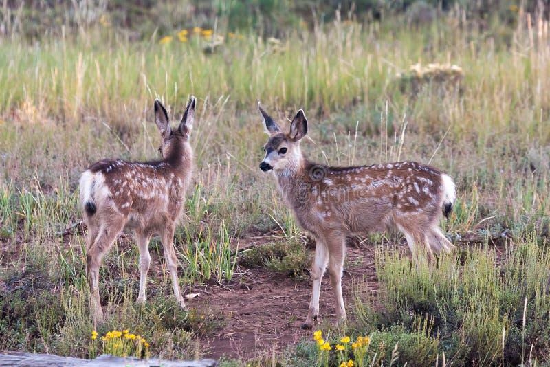 Mule Deer Fawns. Utah Black Tailed Mule Deer Fawns stock photography