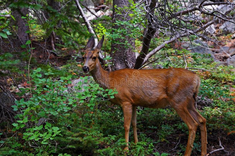Mule deer female doe in the Rocky Mountain National Park, Colorado, royalty free stock photos