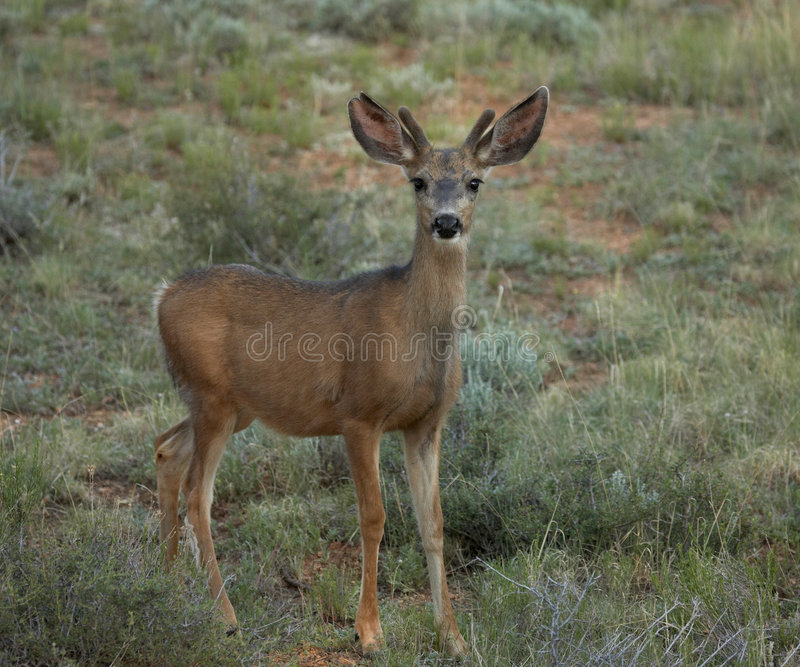 Download Mule Deer in Field stock image. Image of national, fawn - 985111