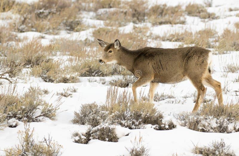MULE DEER IN GRASS MEADOW STOCK IMAGE. Mule deer in grass meadow in summer royalty free stock photos