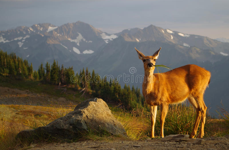 Blacktail deer grazing, sunset, meadows and mountains. A yellow golden colored blacktail deer grazes on grass with meadows and mountains in the background. Taken royalty free stock photography