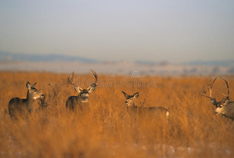 Download Mule Deer Herd During Rut stock photo. Image of ungulate - 15475624