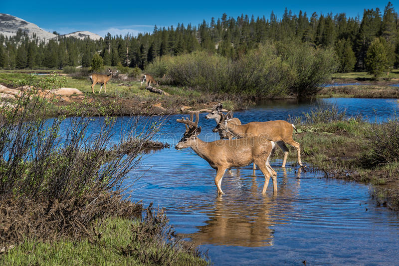 Mule deer herd at Tuolumne Meadows, Yosemite royalty free stock photography
