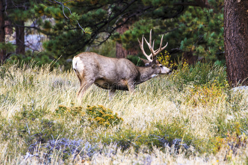 Mule Deer. This image of a Mule Deer was captured in the Rocky Mountain National Park in the autumn during rutting season. The photograph was taken in evening stock photography
