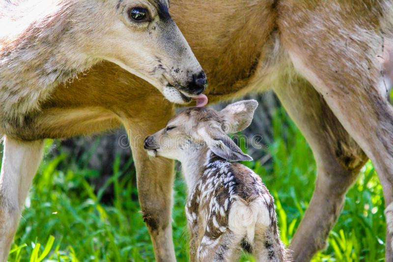 Mule deer mom washing her fawn Waterton Lakes National Park, Alberta, Canada. Mule deer mom takes time out to wash her new born fawn before the predators catch stock photos
