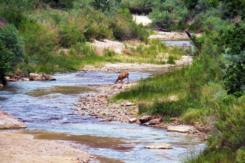 A mule deer Odocoileus hemionus royalty free stock image