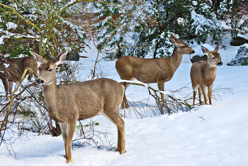 Mule Deer Standing In The Snow. Y forest at Yosemite National Park in winter royalty free stock image