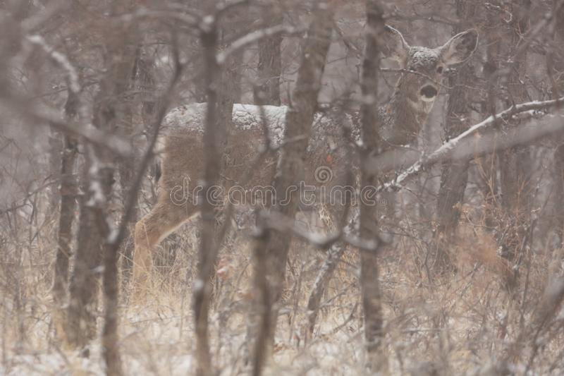Mule deer doe in snowy forest. A mule deer stands among winter bare oak trees on a cold snowy morning royalty free stock images