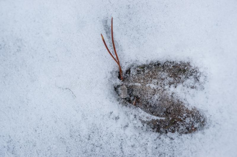 Mule Deer Track in Snow. A fresh mule deer track in snow is displayed with ice crystals forming on a cold winter morning royalty free stock photography