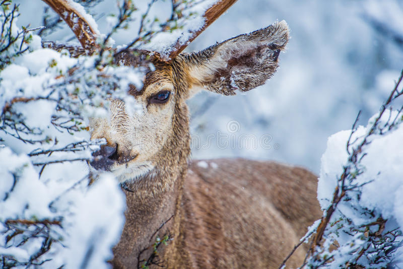Mule Deer in Winter Forest royalty free stock photos