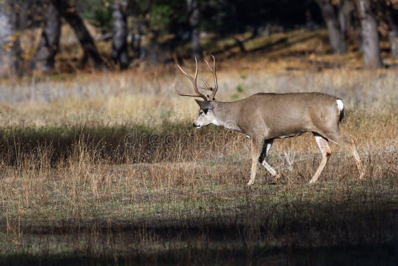Mule deer in Yosemite stock images