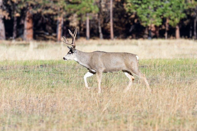 Mule deer in Yosemite royalty free stock image