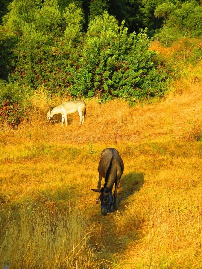 Mule and Donkey royalty free stock image