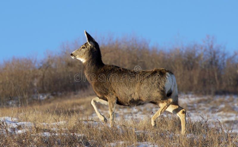 Mule hert doe onderweg stock afbeeldingen