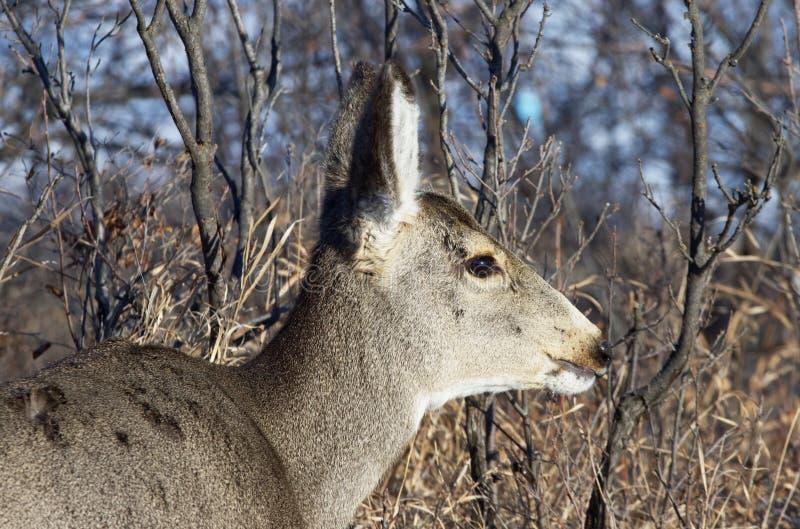 Mule hert Head-schoen stock foto