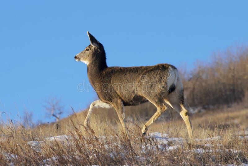 Mule hert onderweg royalty-vrije stock foto