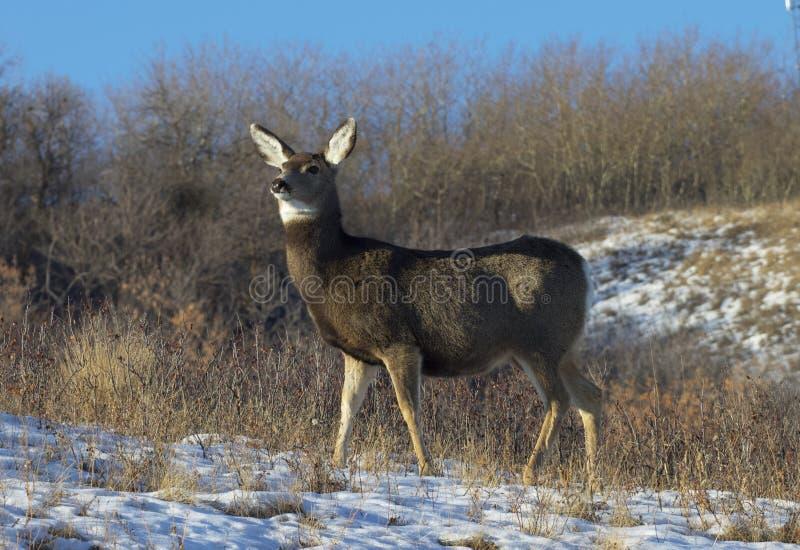 Mule herten met hoge waarschuwing stock fotografie
