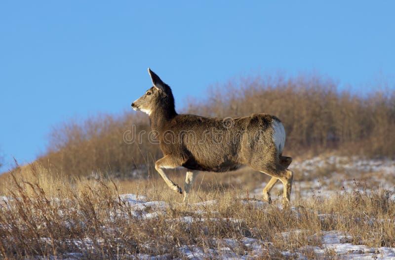 Mule jelenie w ruchu fotografia royalty free