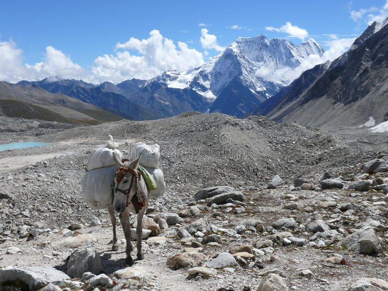 Mule in Larke La pass, Samdo peak - Nepal. View to Samdo peak from Larke La pass, Mule going over glacier stock image
