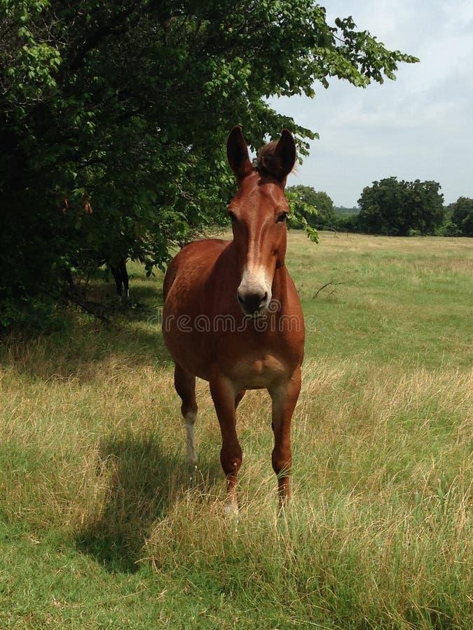 Mule obtenue ? photographie stock libre de droits