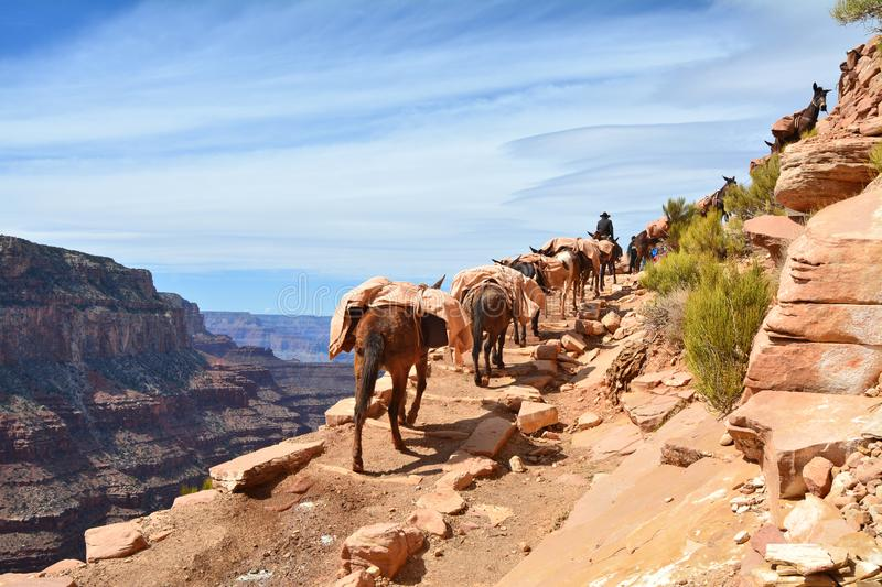 Mule pack train in Grand Canyon royalty free stock photo