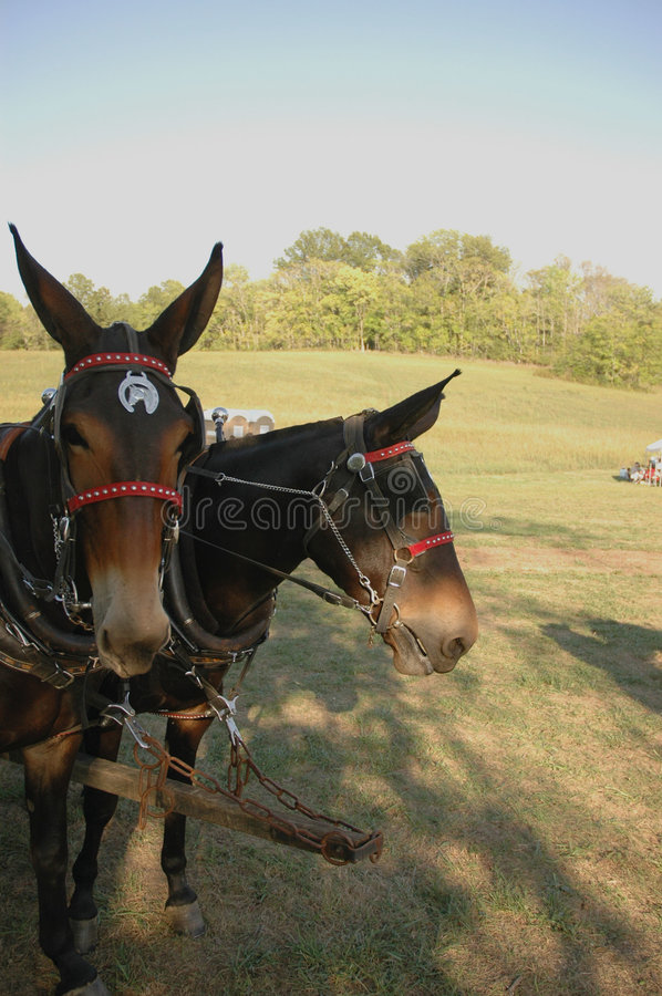Mule Team Stock Photography
