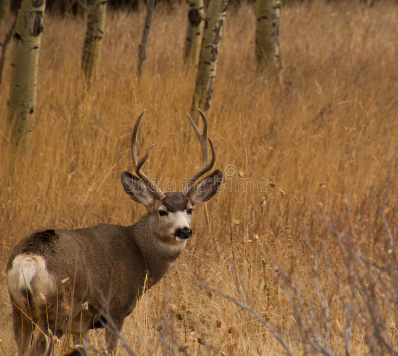 Mulehjortbock med den stora horn på kronhjortkuggen arkivfoton