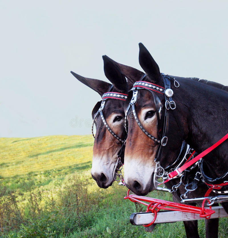 Mules royalty free stock photos