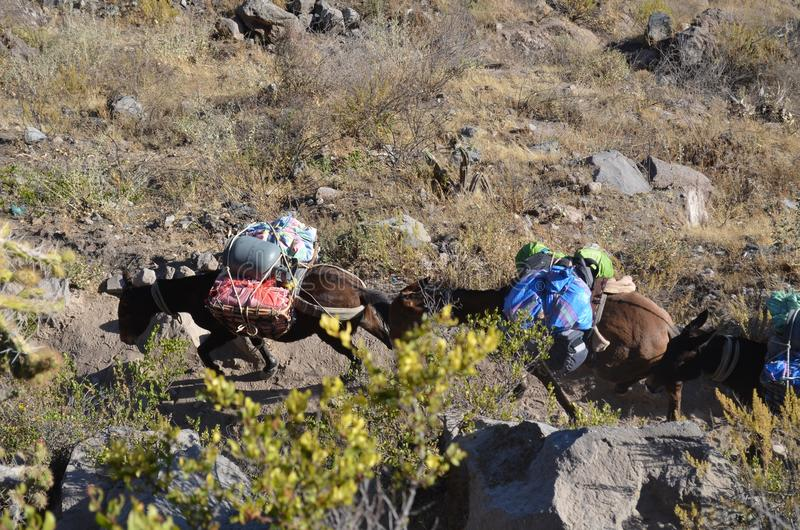 Mules carrying heavy goods at Colca Canyon, Peru royalty free stock photography
