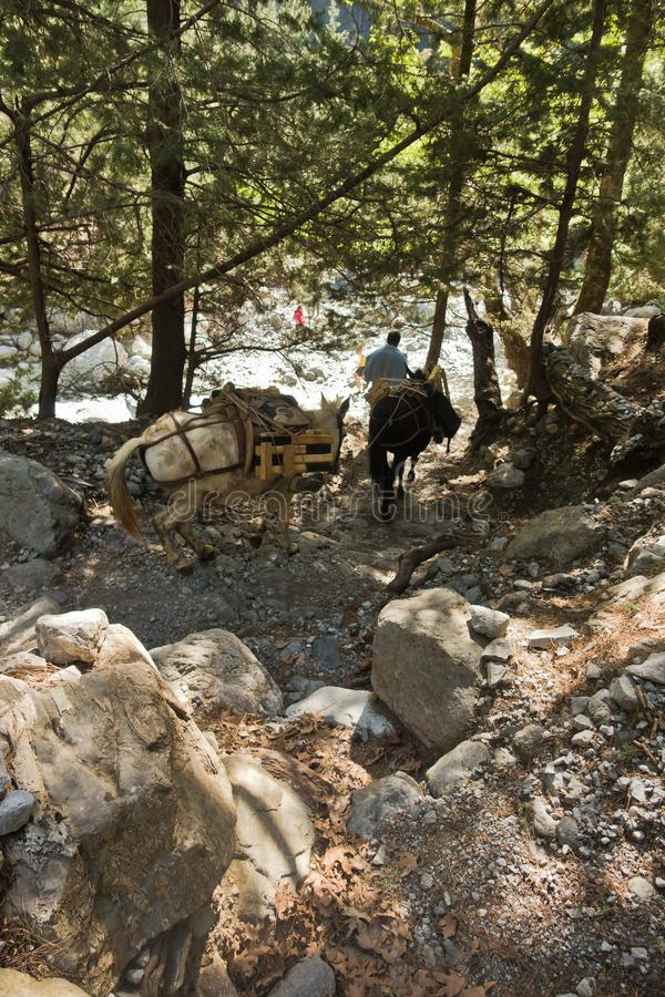 Mules carrying a huge load on a mountain path through pine forest at Samaria gorge, south west part of Crete island stock images