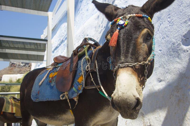 Mules dans Fira Santorini, Grèce photographie stock