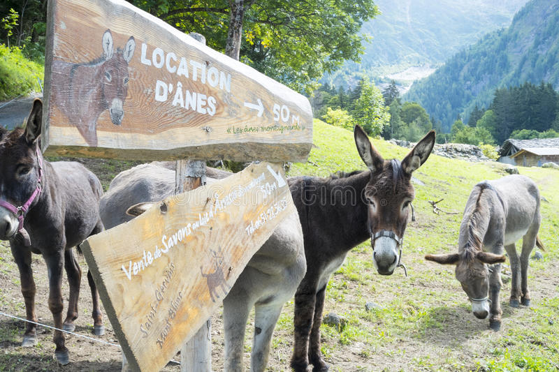 Mules for hire. BIONNASSAY, FRANCE - AUGUST 24: Mules for hire in the village of Bionnassay. Apart from mounting, the mules are used to carry backpacks for Tour royalty free stock image