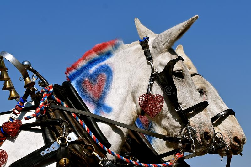 Muleskinner em um vagão coberto puxado por uma equipe das mulas fotografia de stock