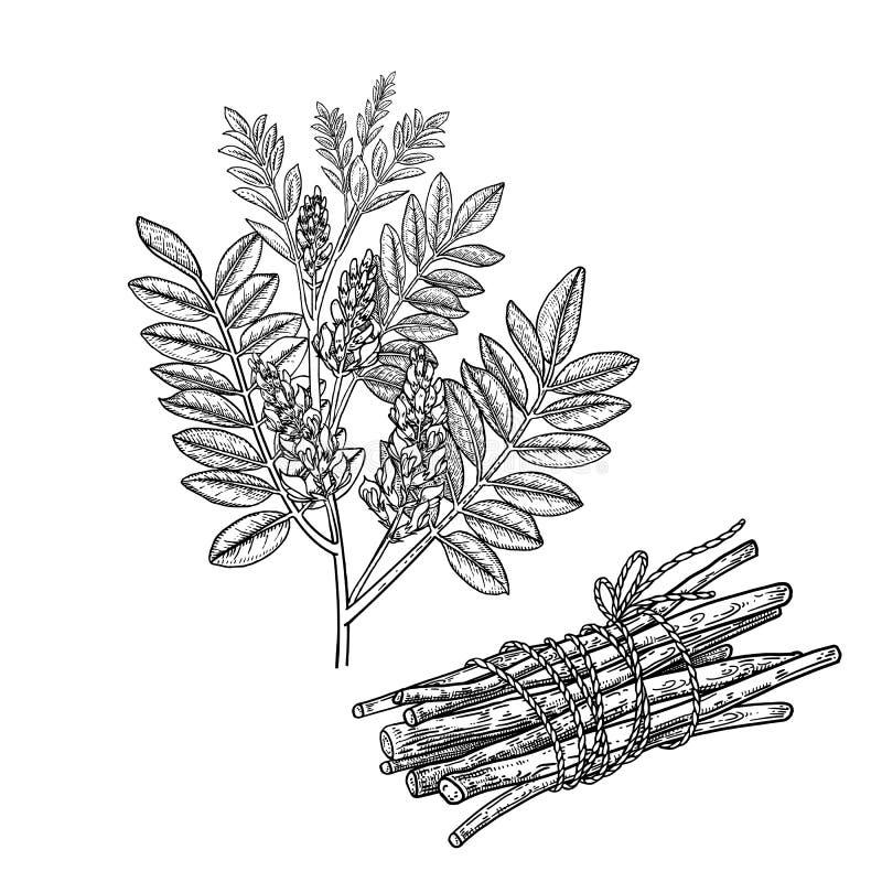 Mulethi eller lakritsrot Realistisk medicinalv?xt Filial med blommor, sidor och att rota vektor illustrationer