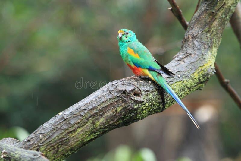 Mulga parrot royalty free stock images