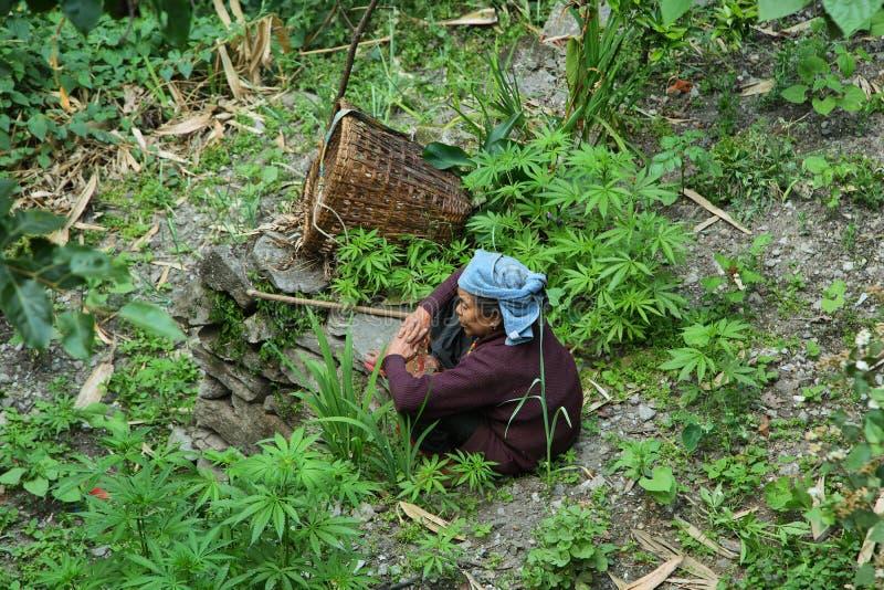 Mulher adulta cercada pela marijuana em Nepal imagens de stock royalty free