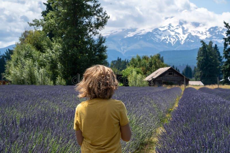 A mulher adulta dá uma volta através de um campo da alfazema em Oregon, com Mt no fundo Para trás enfrentando a câmera, vento no  imagens de stock