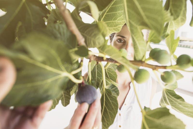A mulher adulta meados de que recolhe figos na seleção da árvore amadurece-se dos inmatures, verão fotografia de stock royalty free