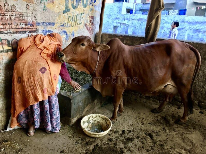 Mulher adulta que dá o alimento à vaca fotografia de stock royalty free