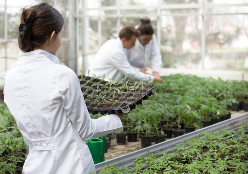 Mulher agrônoma segurando bandeja de sementes em estufa fotos de stock royalty free